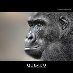 QUEMBO (Matthias Besant) Tags: affe affen affenblick affenfell animal animals ape apes fell hominidae hominoidea mammal mammals menschenaffen menschenartig menschenartige monkey monkeys primat primaten saeugetier saeugetiere tier tiere trockennasenaffe primates querformat gorilla zoo zoofrankfurt matthiasbesant quembo baby hessen deutschland