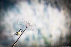 speed mésange (JimDel Photographies) Tags: bird oiseau oiseaux bokeh wildlifephoto wildlife wild winter mesange tit nature naturebeauty naturephoto biodiversité biodiversity birds