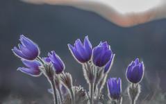 Springflowers / Pulsatilla grandis (Torok_Bea) Tags: pulsatilla pulsatillagrandis kökörcsin leánykökörcsin pilisihegyek hike natur nature beautiful amazing best bestflowers bestflower wonderful wild mountains hills pasqueflower sigma sigma105 pilisihegység mountain flower wildflower