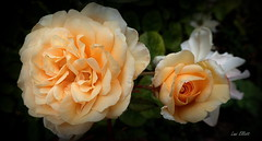 Apricot Joy (Lani Elliott) Tags: flower flowers rose roses davidaustinroses apricot garden homegarden closeup upclose macrounlimited bokeh darkbackground light bright colour colourful petals nature naturephotography lanielliott lanisflowers lanisgarden
