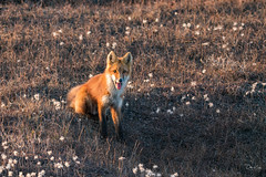 Red Fox (Dan King Alaskan Photography) Tags: redfox fox vulpesvulpes tundra arctic northslope alaska wildlife wilderness protectwildlife preservewilderness smile canon80d sigma150600mm