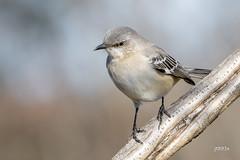 Northern Mockingbird (jt893x) Tags: 150600mm bird d500 jt893x mimuspolyglottos mockingbird nikon nikond500 northernmockingbird sigma sigma150600mmf563dgoshsms songbird