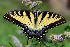 810_5908. Tiger Swallowtail (laurie.mccarty) Tags: swallowtail butterfly tigerswallowtail bokeh macro tamron90mmf28 nature naturephotography wildlife