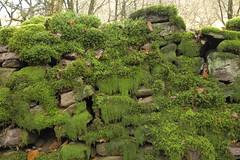 GreenWall (Tony Tooth) Tags: nikon d600 tamron 2470mm moss green foliage wall stonewall buxton derbyshire