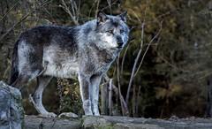 Timberwolf auf der Anhöhe ...... (Fritz Zachow) Tags: wolf timberwolf erlebniszoo hannover deutschland tier raubtier