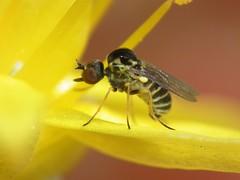 Cyrtosia marginata (RuiAndrade) Tags: cyrtosia marginata mythicomyiidae diptera fly mosca insectos insects nature natureza