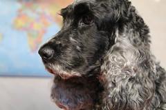 Happy Birthday Little Confidential (excellentzebu1050) Tags: dog pet spaniel closeup cockerspaniel farmdog indoors animal animalportraits doggy coth5 sunrays5