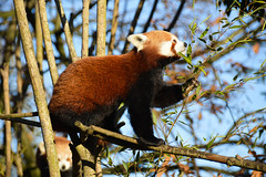 Red panda (Ailurus fulgens) (Seventh Heaven Photography - (Fauna)) Tags: ailurusfulgens ailurus fulgens red panda chester zoo cheshire england nikond3200 animal mammal koda male