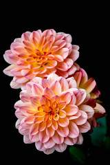 Pink and orange chrysanthemum on black background (wounderful0) Tags: chrysanthemum marguerite crowndaisy flower flowers twoflowers two 2 pink orange black blackbackground background pinkflower orangeflower nature plant beautiful beauty flora isolated garden botany blossom bloom color blooming floral bright closeup spring summer autumn petal single fresh colorful