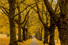 Golden autumn alley in park (wounderful0) Tags: autumn fall season alley trees gold golden yellow colors street path way park nature day tree landscape forest foliage orange leaf outdoor colorful bright environment october september november leaves background color wood beautiful natural