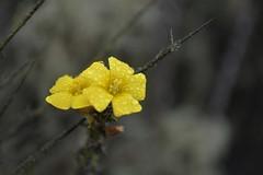 Spring (karenadinee) Tags: d5200 nikond5200 nikon nature yellow macro hill cerrogrande hills valledeelqui elqui wildflower coquimbo ivregion chile laserena flower wild