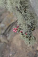 (karenadinee) Tags: d5200 nikond5200 nikon macro elquivalley elqui valledeelqui cactus mist hills coquimbo ivregion chile laserena cerrogrande nature redflower flowers wildflower flower