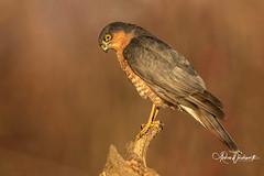 Sparrowhawk (Andrew 3457) Tags: uk birds wildlife 300mm f28mk canon 7d mkii sparrowhawk bird or pray