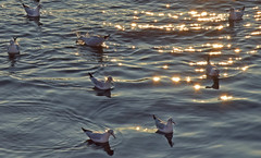 Gulls with Rhine glitter (barbmz) Tags: chroicocephalusridibundus mainz rhein rhine seagull gull lachmöwe möwe