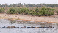 Elephants Crossing The Chobe River (peterkelly) Tags: digital canon 6d africa intrepidtravel capetowntovicfalls botswana chobenationalpark choberiver savannaelephant elephant crossing trees tree shore shoreline water river savannahelephant