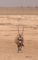 Approaching Oryx (peterkelly) Tags: digital canon 6d africa intrepidtravel capetowntovicfalls namibia etoshanationalpark savanna oryx antelope antlers
