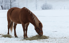 Horse in winter pasture (liuskaa) Tags: horse animals winter snow cold