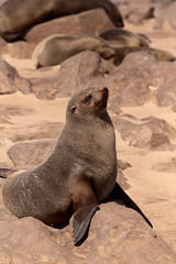 Rocky Perch (peterkelly) Tags: digital canon 6d africa intrepidtravel capetowntovicfalls namibia seal colony rock boulder skeletoncoast capecrosssealreserve capefurseal dorobnationalpark