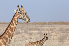 Giraffes On The Move (peterkelly) Tags: digital canon 6d africa intrepidtravel capetowntovicfalls namibia etoshanationalpark southerngiraffe blue sky savanna