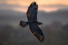 Buzzard (Buteo buteo) (Ben Stacey.) Tags: birdofprey silhouette benstacey nature wildlife evening sunset buzzard northwales rimlighting backlit backlighting nikon nikonuk