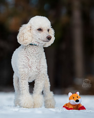 Picture of the Day (Keshet Kennels & Rescue) Tags: adoption dog dogs canine ottawa ontario canada keshet breed animal animals kennel rescue pet pets nature photography mini miniature poodle white stuffy stuffie stuffed toy cute friends fox small