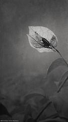 Luz breve (Blas Torillo) Tags: oaxtepec morelos mexico flor flower bugambilia buganvilia naturaleza nature exteriores outdoors luznatural naturallight blancoynegro byn bn blackandwhite bnw bw arte art fineart fineartphotography luz light contraluz silhouette hojas leaves textura texture fotografíaprofesional professionalphotography fotógrafosmexicanos mexicanphotographers nikon d5200 nikond5200