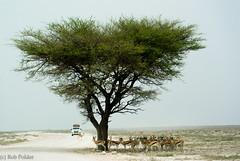 springbok gathering (robpolder) Tags: 2019 desert etosha namibia wildlife springbok acacia tree