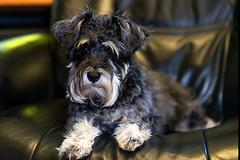 Obi (uofmtiger) Tags: schnauzer dog cute 85mm