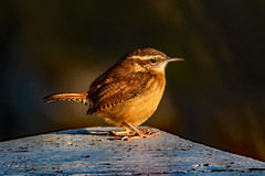 2019.12.07.8780 Carolina Wren (Brunswick Forge) Tags: 2019 grouped virginia botetourtcounty nature wildlife outdoor outdoors animals animalportraits day clear autumn nikond500 nikkor200500mm nikkor14xteleconverter afternoon sunset bird birds animal