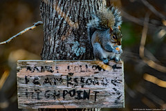 2019.12.07.8765 Squirrel (Brunswick Forge) Tags: 2019 grouped virginia botetourtcounty nature wildlife outdoor outdoors animals animalportraits day clear autumn nikond500 nikkor200500mm nikkor14xteleconverter afternoon sunset animal