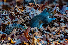 2019.12.07.8750 Squirrel (Brunswick Forge) Tags: 2019 grouped virginia botetourtcounty nature wildlife outdoor outdoors animals animalportraits day clear autumn nikond500 nikkor200500mm nikkor14xteleconverter afternoon sunset animal