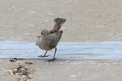 Familiar Chat (chlorophonia) Tags: birds familiarchat animals vertebrates muscicapidae animalia cercomelafamiliaris oenanthefamiliaris oldworldflycatchers kleinwindhoek khomasregion namibia