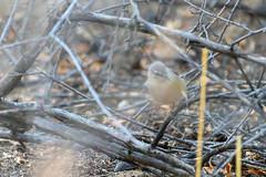 Cape Crombec (chlorophonia) Tags: birds capecrombec animals vertebrates macrosphenidae animalia sylviettarufescens kleinwindhoek khomasregion namibia