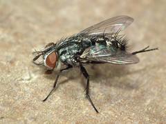 Nemorilla maculosa (female) (RuiAndrade) Tags: nemorilla maculosa tachinidae diptera fly mosca insectos insects nature natureza