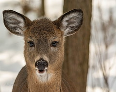 How can you not love this face? (Dr. Farnsworth) Tags: deer yearling doe female brown fur cute face ears hair eyelashes forest fernridge mi michigan fall december2019