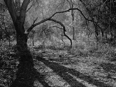 Stretch (surfcaster9) Tags: oaktree shadows outside blackwhite leaves lumix25mmf17asph lumixg7 nature florida forest micro43 outdoors woods bw