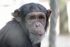 Young Chimpanzee (K.Verhulst) Tags: mensaap ape chimpansee chimpanzee amersfoort dierenparkamersfoort e chimpa
