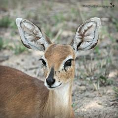 steenbok (MiChaH) Tags: sa southafrica zuidafrika wildlife wildlifephotography kruger krugernationalpark krugerpark 2019 portret portrait steenbok
