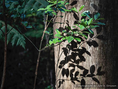 Leaves shadows bright tree trunk (Julie V. Simpson Photographer) Tags: green trees leaves nature shadows naturalworld instadaily instagram instanature naturephotography naturelovers natureza natureperfection newzealand ferns forest nzbush