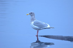 Blue Day at Mill Lake (Neal D) Tags: bc abbotsford milllake bird gull glaucouswingedgull larusglaucescens