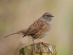 Dunnock (PhotoLoonie) Tags: dunnock bird wildbird wildlife nature avian attenboroughnaturereserve