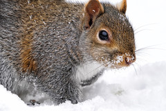 A6600298 (mbisgrove) Tags: a6600 squirrel snowflake sel100400gm snow sony