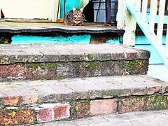 Mew Orleans (kirstiecat) Tags: cat feline chat neworleans kitty gato tabbycat streetcat caturday meworleans