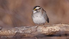 Bruant à gorge blanche:  White-throated Sparrow (jean-guy Proulx) Tags: whitethroatedsparrow bruantàgorgeblanche oiseaux birds coth5 nature animals jeanguyproulx canoneos80d animal