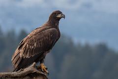 Bald Eagle (eBird.org) Tags: ebird christmas bird count conservation citizen science audubon society cbc birding