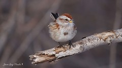 Bruant hudsonien:  American Tree Sparrow (jean-guy Proulx) Tags: bruanthudsonien americantreesparrow oiseaux birds coth5 nature animals jeanguyproulx canoneos80d animal