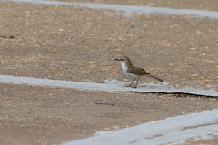 Mariqua Flycatcher (chlorophonia) Tags: birds animals vertebrates muscicapidae mariquaflycatcher animalia bradornismariquensis oldworldflycatchers kleinwindhoek khomasregion namibia