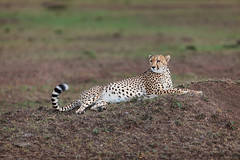 Kisaru at Rest (Xenedis) Tags: acinonyxjubatus africa afrika animal bigcat cat cheetah duma eastafrica grass kenya kisaru maasaimara maranorthconservancy narokcounty plains republicofkenya riftvalley safari wildlife fh ig
