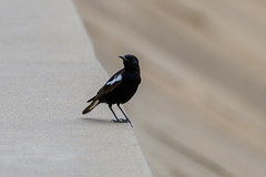 Mountain Wheatear (chlorophonia) Tags: birds animals mountainwheatear muscicapidae vertebrates animalia myrmecocichlamonticola oenanthemonticola oldworldflycatchers kleinwindhoek khomasregion namibia