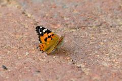 Painted Lady (chlorophonia) Tags: butterflies paintedlady arthropoda lepidoptera animals nymphalidae insecta invertebrates papilionoidea animalia insects rhopalocera vanessacardui kleinwindhoek khomasregion namibia